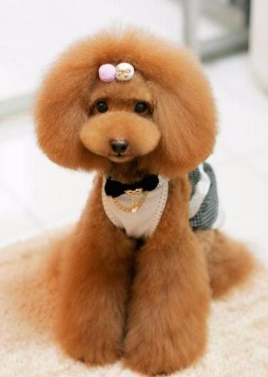 合肥纯种红灰色泰迪幼犬 茶杯泰迪熊可上门挑选有优惠