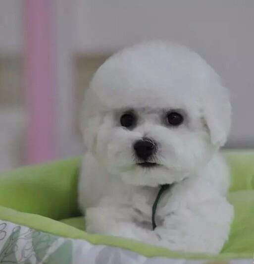 雪白卷毛黑鼻头的汕头比熊犬找新主人 爱狗人士优先选