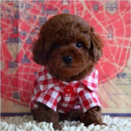 100%纯种健康的茶杯犬出售优质售后服务