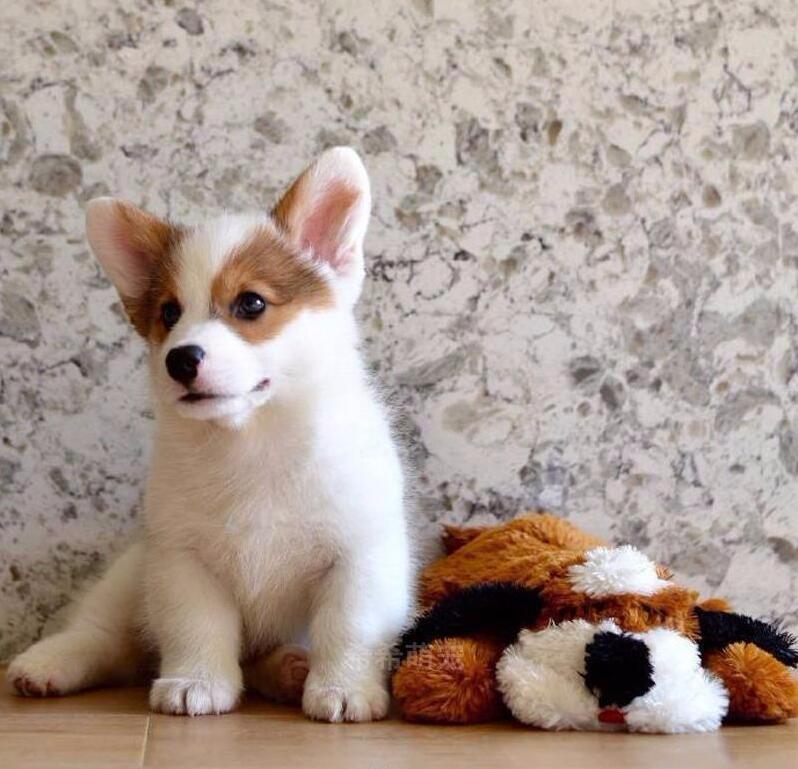 纯种柯基犬出售 三个月包退换 包半年健康 签售后协议