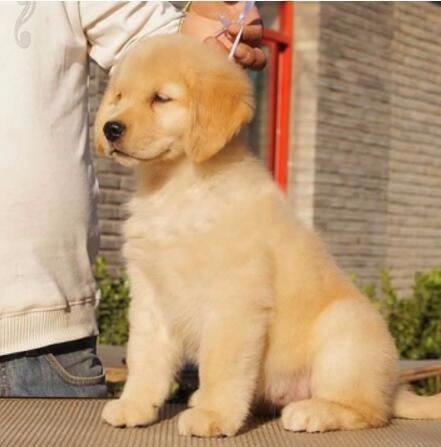 转让品相好血统纯的金毛犬 汕头的朋友可上门选购幼犬