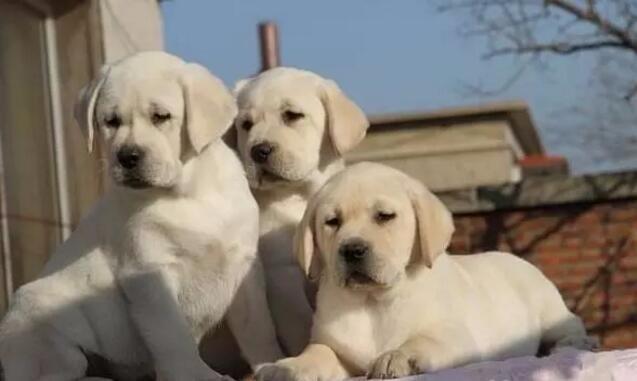出售疫苗驱虫已做好的汕头拉布拉多犬 承诺售后三包