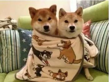 高品质纯种日本小柴犬、证书齐全、多窝公母供选择