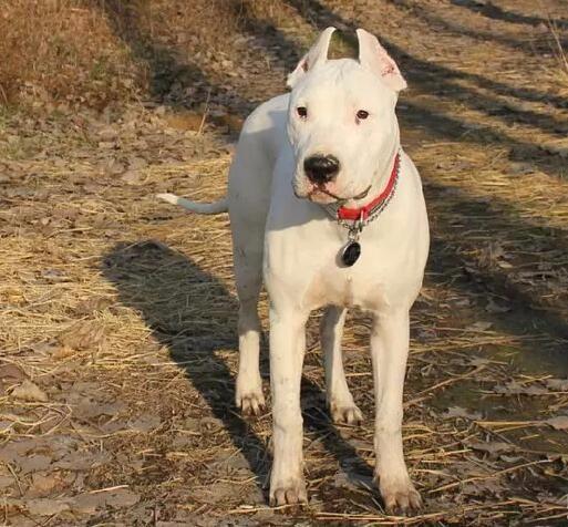 岳阳出售杜高犬幼犬可视频看狗终身售后服务饲养指导