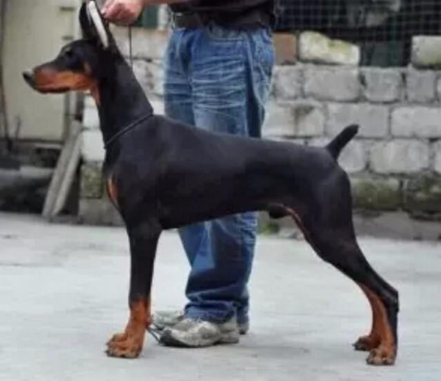 纯正德美系杜宾猎犬出售公母都有赛级品质签订质保协议