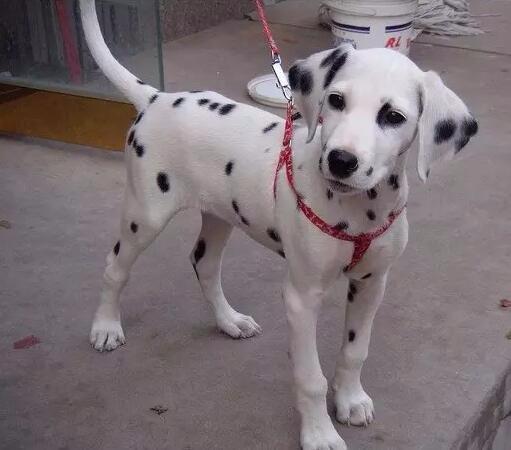 家养斑点狗出售 假一赔十价位最低 签协议可送货