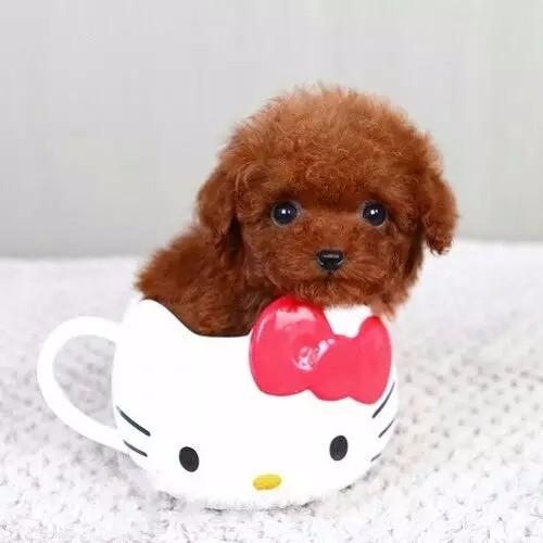 景德镇高颜值小体泰迪犬出售 韩国引进 可签协议