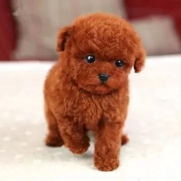 杭州高品质泰迪犬带血统出售终身质保质量三包送上门