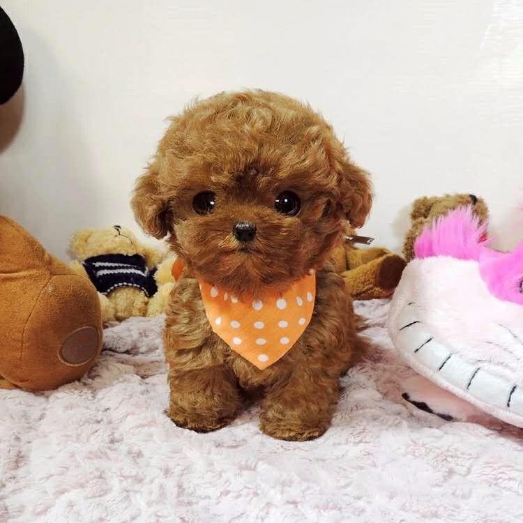 鞍山正规狗场直销出售深红色泰迪犬 疫苗驱虫齐全