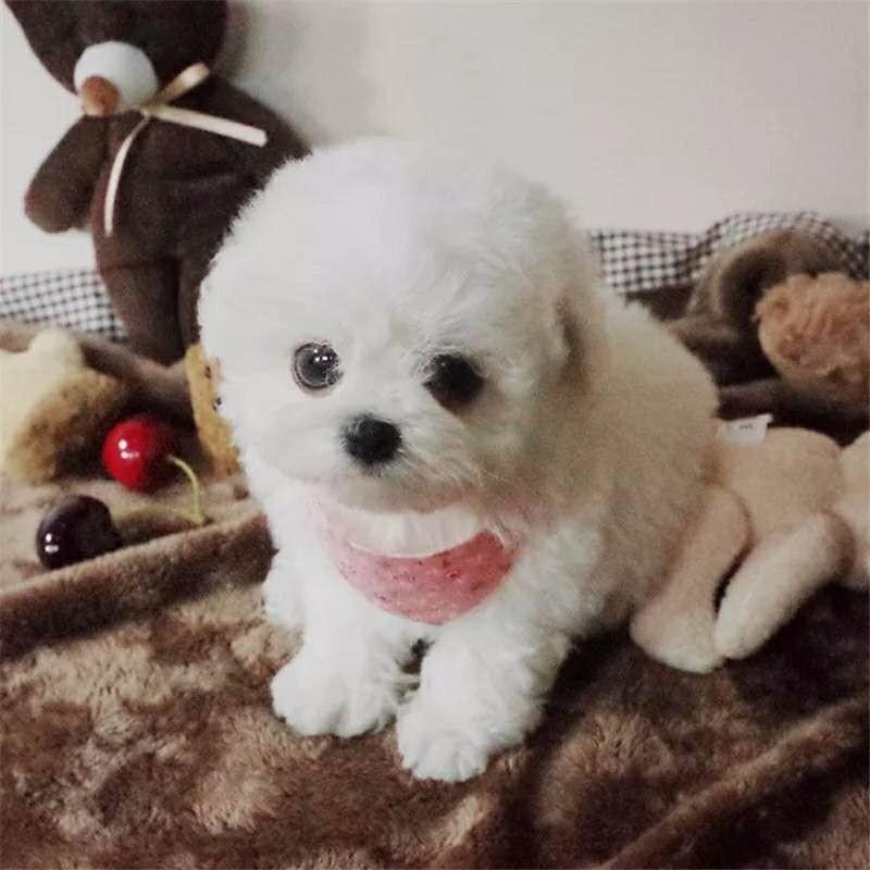 纯种健康 超可爱的昆明泰迪犬找新家 选择我们选择安心