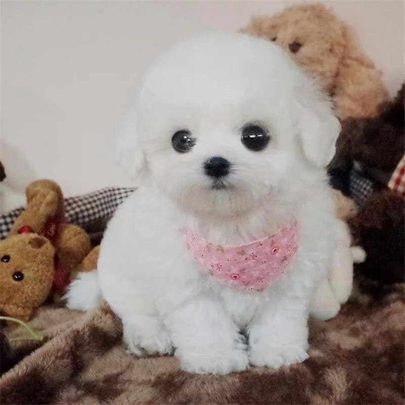 直销赛级泰迪犬、保证品质一流、三年质保协议