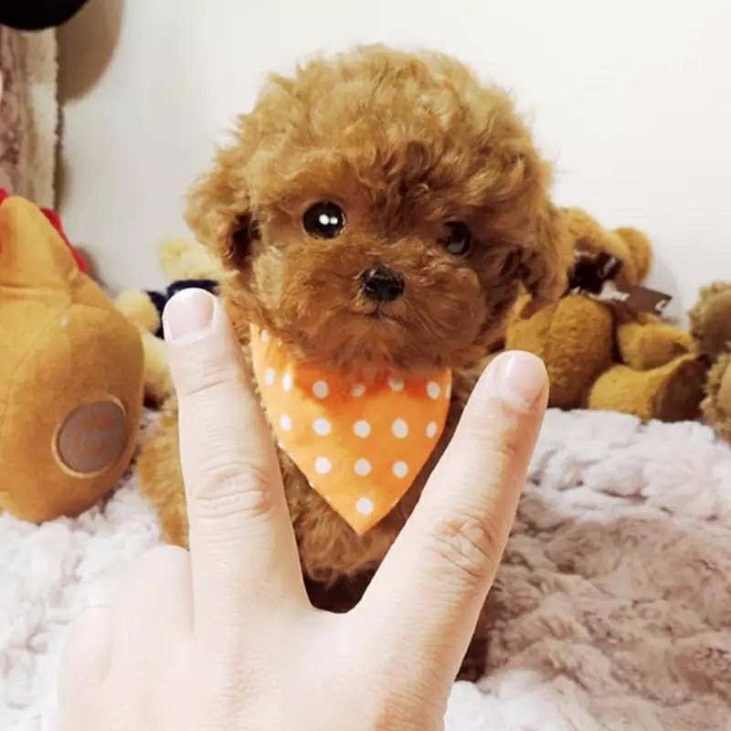 实物拍摄的成都泰迪犬找新主人爱狗人士优先狗贩勿扰