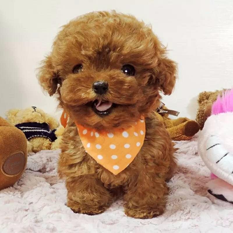 热销多只优秀的纯种武汉泰迪犬签订合法售后协议