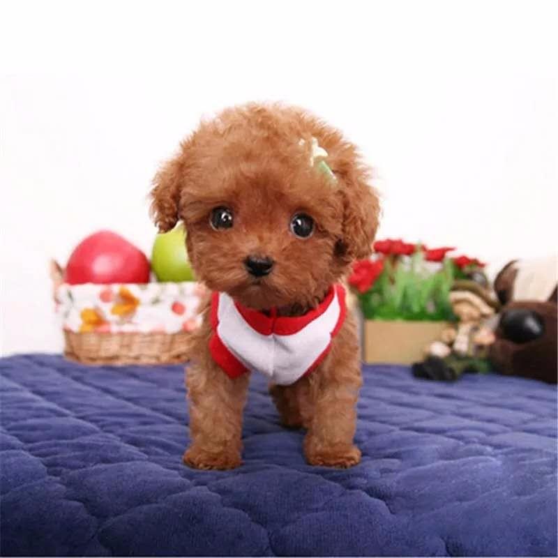 实体店出售精品泰迪犬保健康包养活送用品4