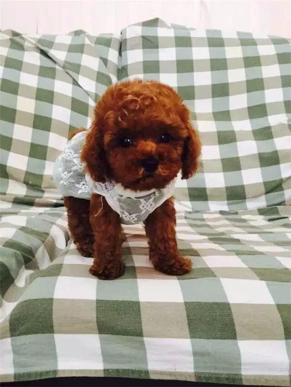 实体店出售精品泰迪犬保健康包养活送用品2