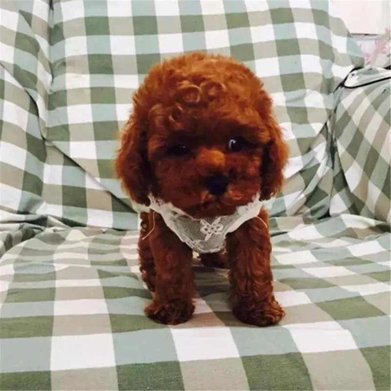 实体店出售精品泰迪犬保健康包养活送用品3