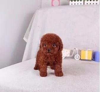 实体店出售精品泰迪犬保健康包养活送用品1