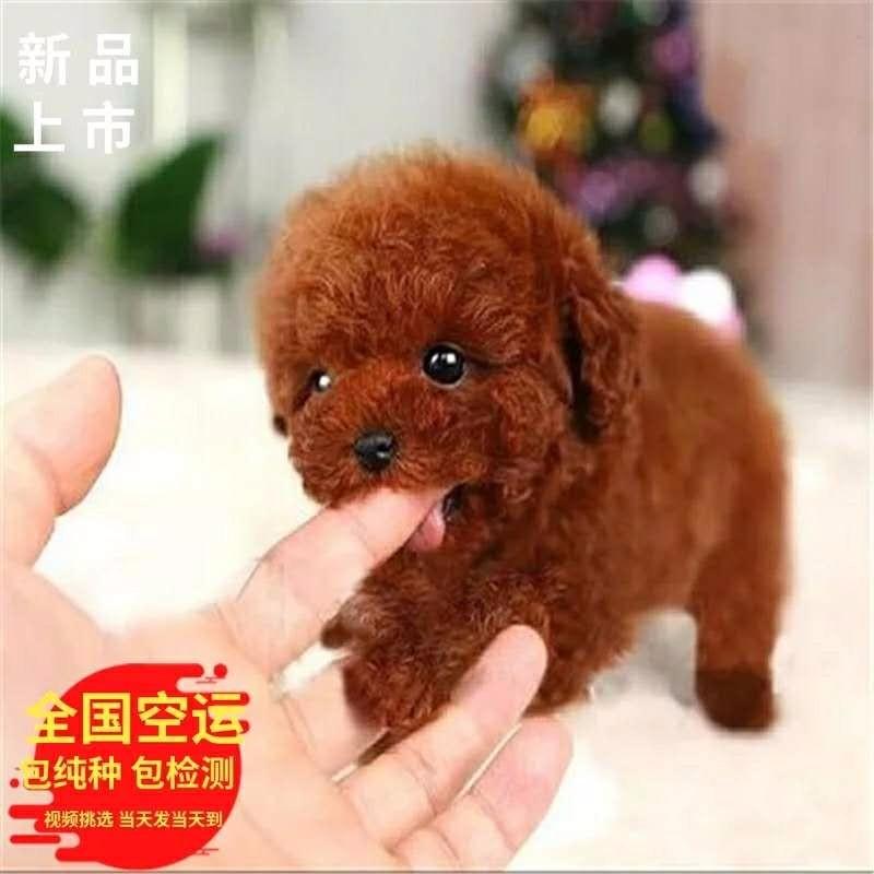 宁波自家繁殖多只泰迪犬出售中包纯种接受预定