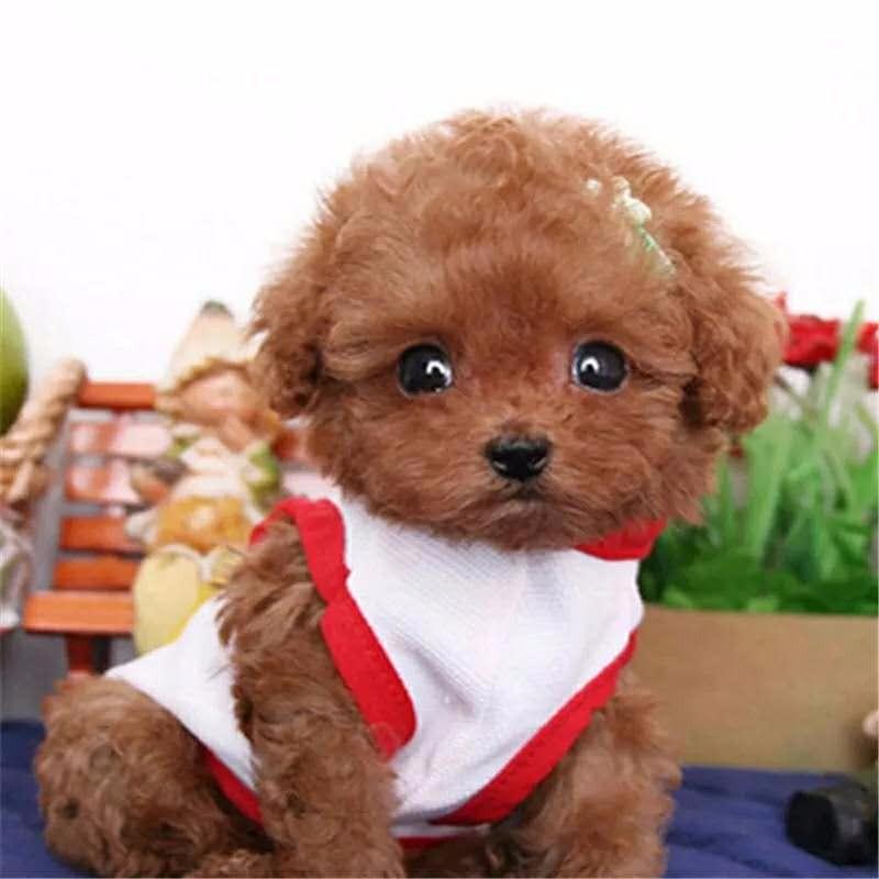 超级迷人 超级活泼泰迪宝宝长沙热销 优质的售后有保障