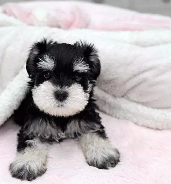 北京最大犬舍出售多种颜色雪纳瑞赛级品质保障