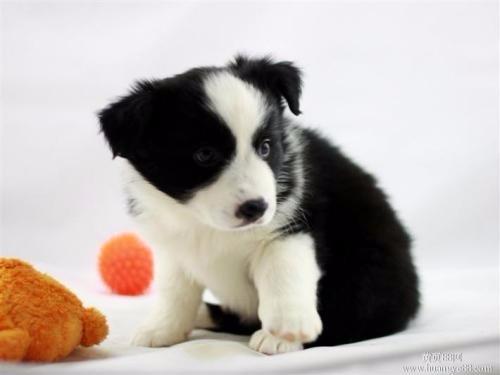出售纯种边境牧羊犬已做过疫苗驱虫售后有保障签协议