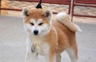 南京哪里有卖秋田犬的 秋田犬多少钱可以买到一只