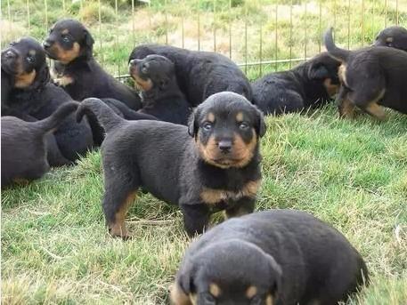 高端罗威纳幼犬 金牌店铺品质保障 签订活体协议