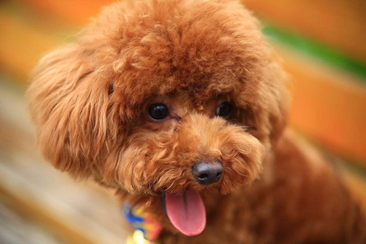 福州犬舍直销好品相的泰迪犬颜色多只可随意挑选