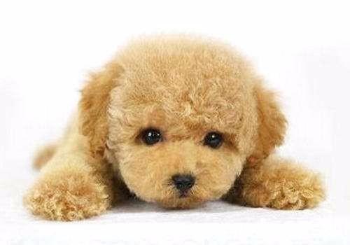 家养多只泰迪犬宝宝出售中可以送货上门