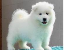 """三亚出售纯版""""微笑天使""""萨摩耶犬"""