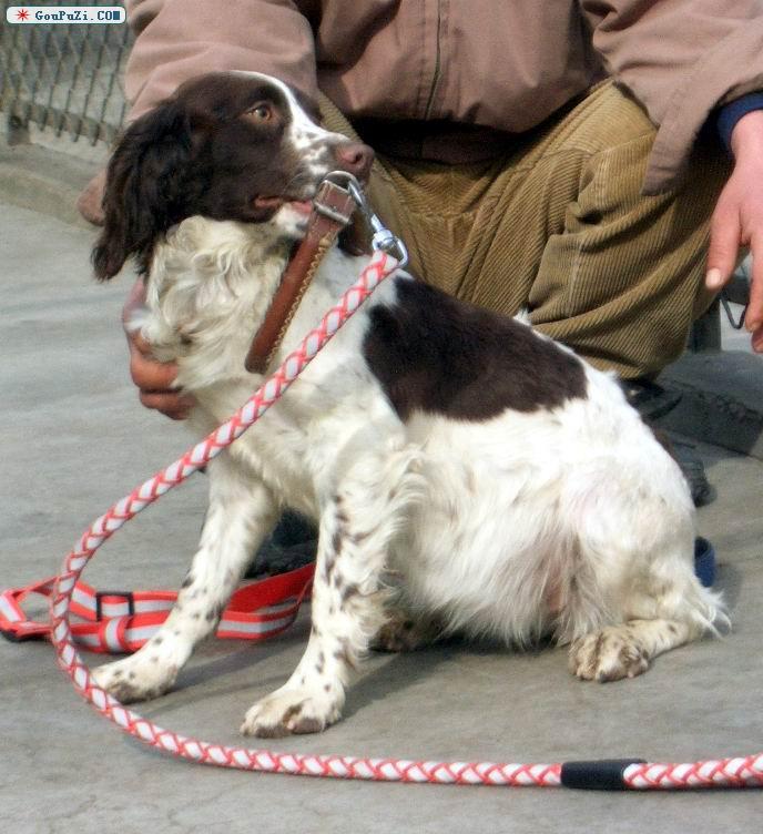 北京 史宾格/北京小魔杖史宾格出售优质史宾格成幼犬[六个月公狗]