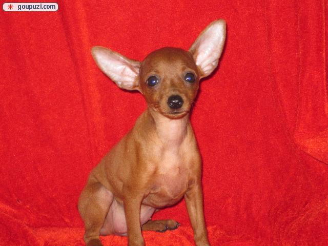 出售小鹿幼犬 铁包金 红色小鹿犬 包健康纯种 全国包邮