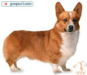 北京出售高品质保健康赛级宠物级精品柯基幼犬