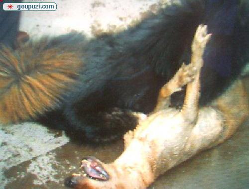 中国猛犬藏獒PK美国比特犬打架 谁是犬王(图)14