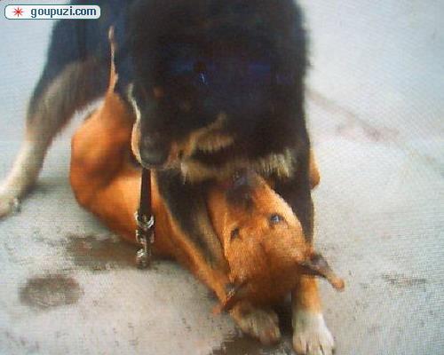 中国猛犬藏獒PK美国比特犬打架 谁是犬王(图)8