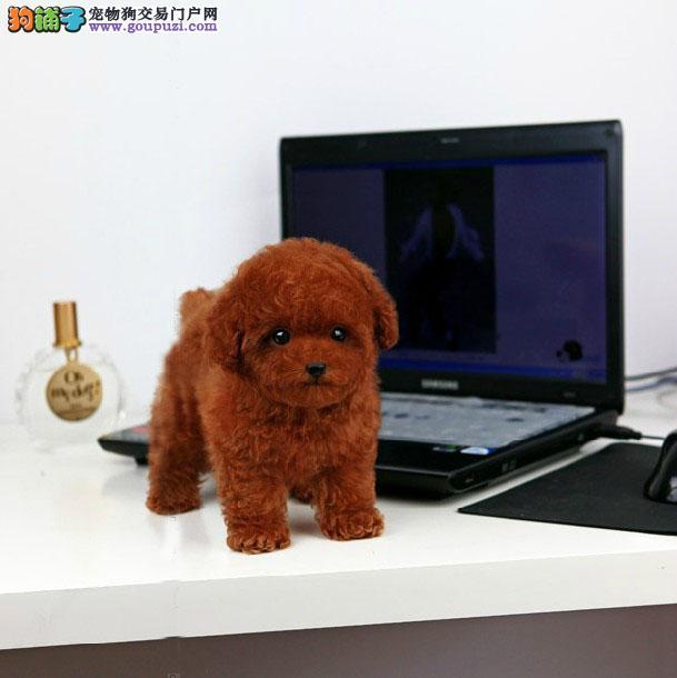 国际注册犬舍(名犬俱乐部)出售极品泰迪熊宝宝