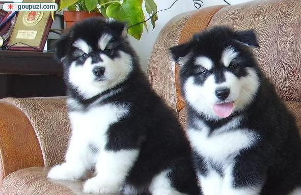 朝阳/(KA酷宠物)阿拉斯加雪橇犬是最古老的北极雪橇犬[两个月公母...