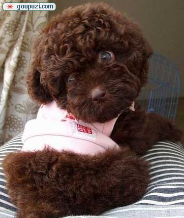 泰迪犬郑州CKU认证犬舍自繁自销爱狗人士优先狗贩勿扰