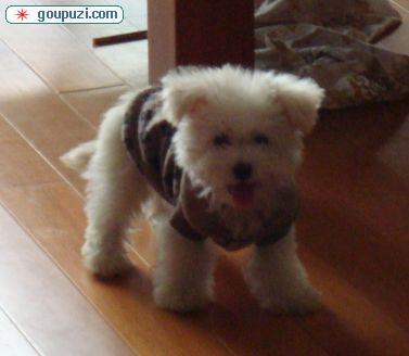 上海 可爱/上海出售可爱纯种家养比熊6个月妹妹QQ51468839[六个月母狗]