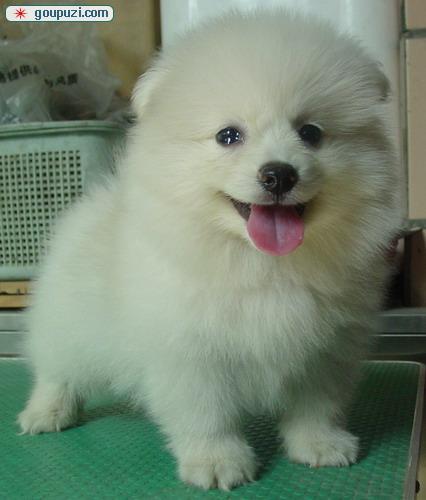 专业繁殖基地售顶级双冠银狐幼犬 签协议免费送货