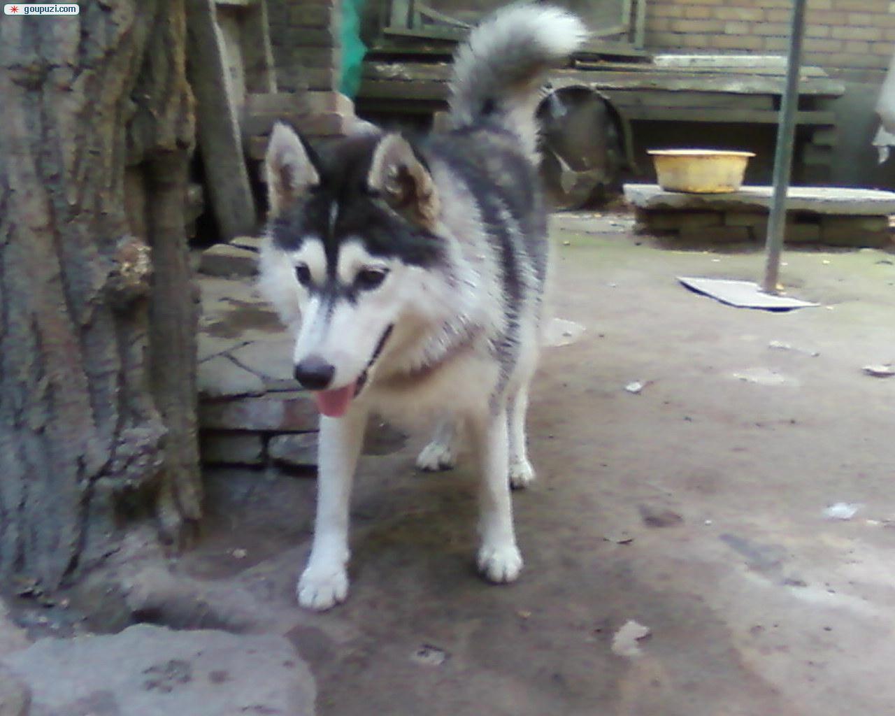 陕西/西安市出售小哈,配种公犬曾是比赛犬[一个月公母全有]