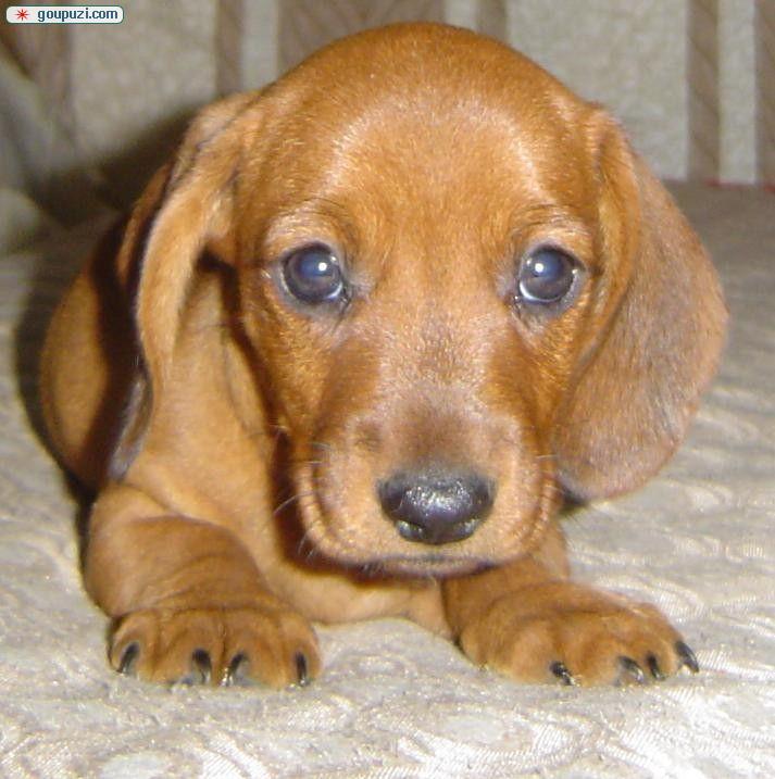 腊肠狗 健康纯种 品质保证 血统纯正 CKU认证