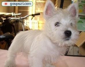可爱又迷人西高地幼犬 西部高地白梗宝宝 贵族般气质