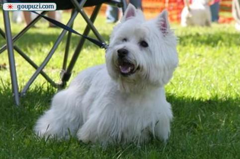 顶级西高地幼犬赛级血统健康第一 皇家犬业西高地犬