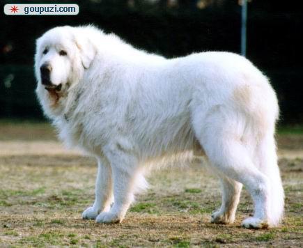 大白熊 护卫犬 忠实/世界上力量最大的狗,大白熊直销价900元/只[三个月公狗]