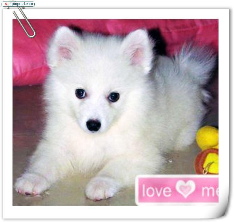 纯种银狐犬宝宝郑州地区找主人优惠出售中狗贩子勿扰