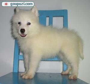 专业正规犬舍热卖优秀的宁德银狐犬真实照片包纯