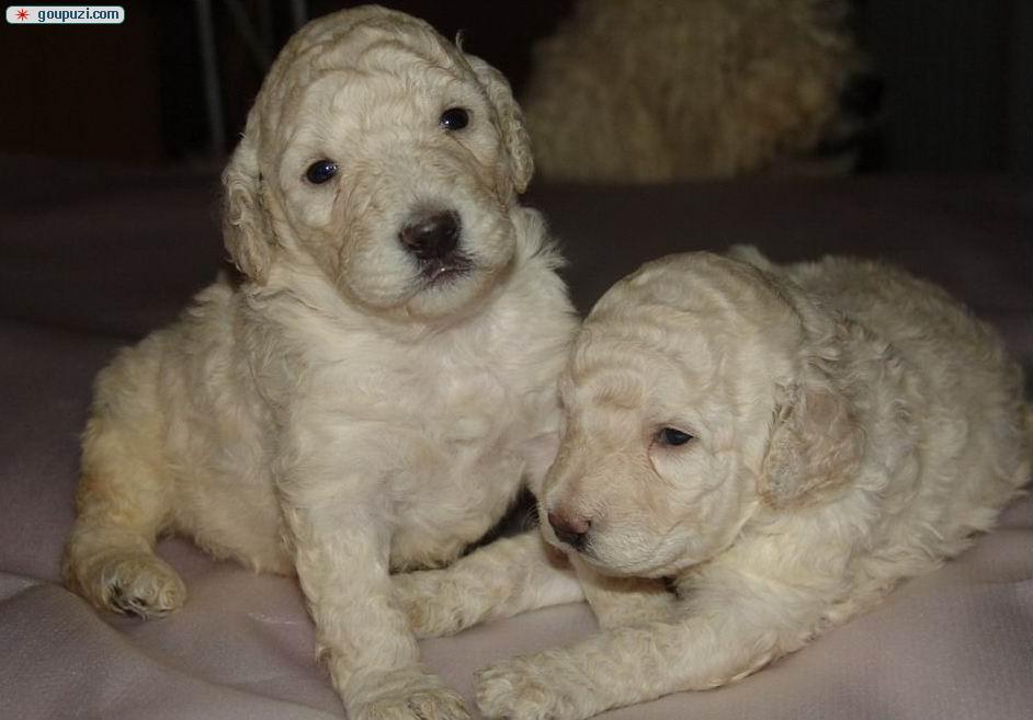 自家繁殖可蒙犬宝宝特价出售