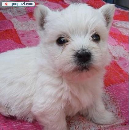 国际注册犬舍 出售极品赛级西高地幼犬可包邮