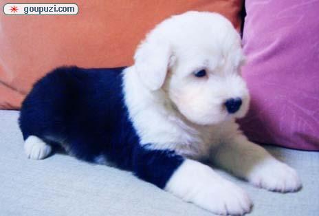 大白头3个月古牧幼犬颜色好血统纯现在出售中